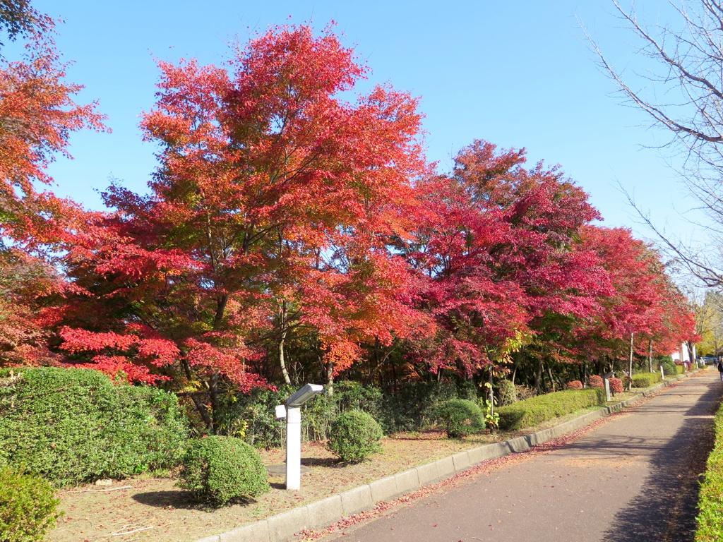 モミジ紅葉情報 11月12日(木)現在 ほぼ見頃です