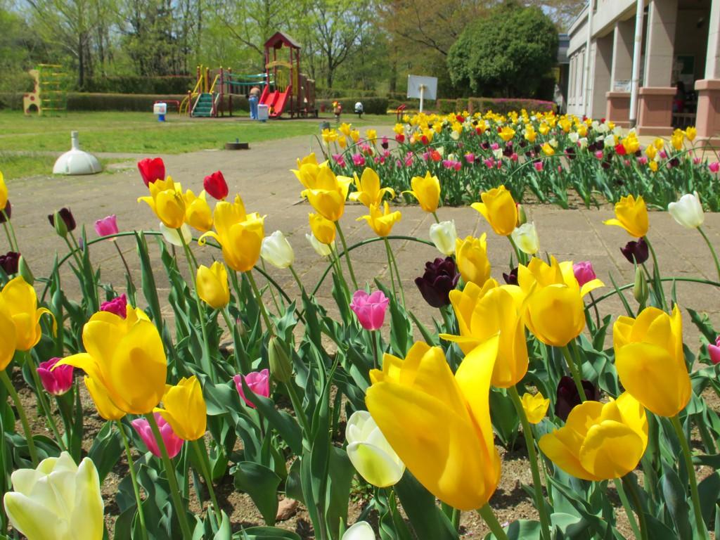 チューリップ開花状況 4月12日 咲き始め