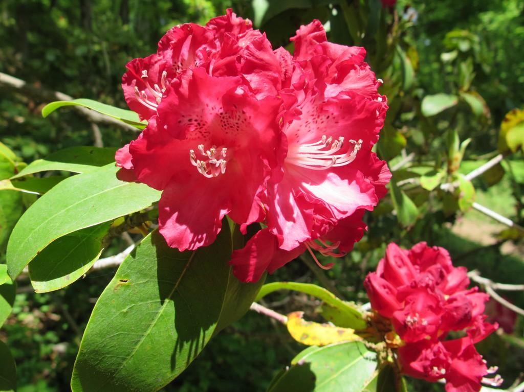 シャクナゲの開花状況 4月27日(早咲きが5分咲き・遅咲き咲き始め)