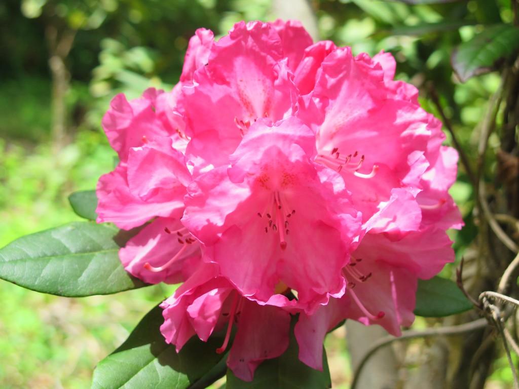 シャクナゲの開花状況 4月30日 見頃になってきました