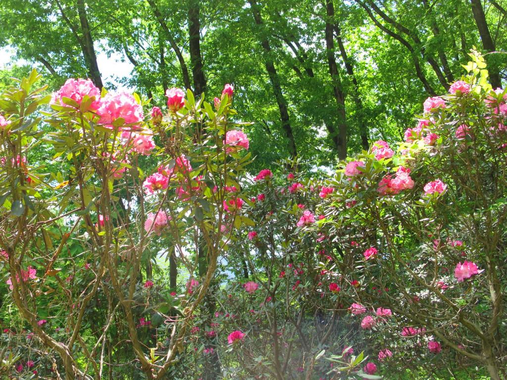 シャクナゲの開花状況 5月3日 見頃です