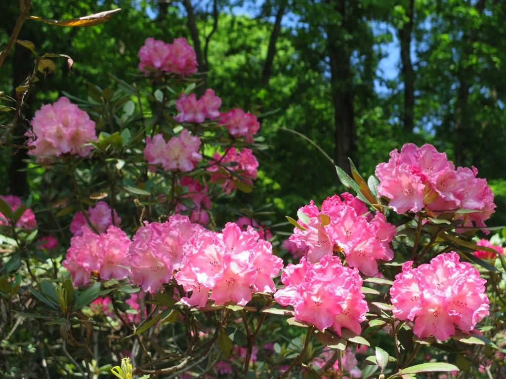 シャクナゲの開花状況 5月6日 見頃です