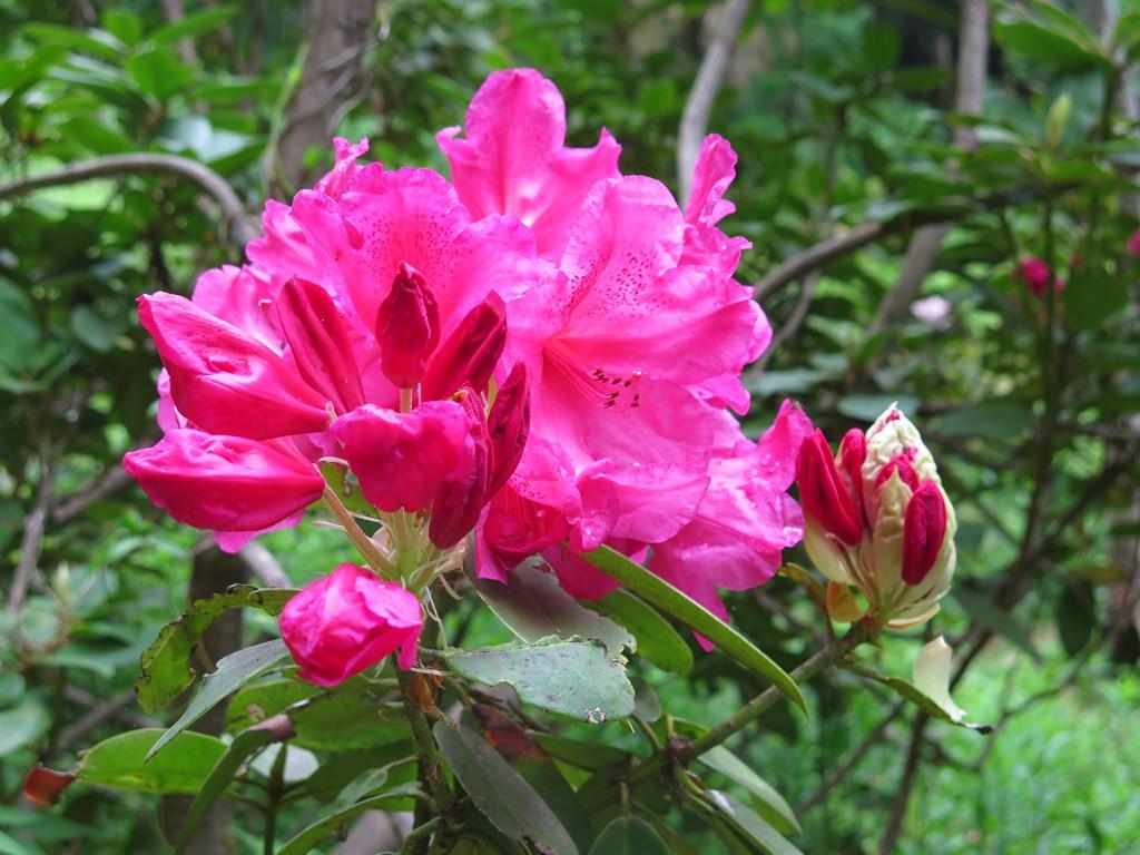シャクナゲの開花状況 5月13日 終盤です